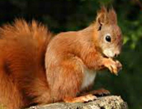 Red Squirrels Eden Valley